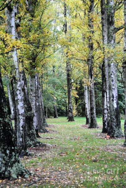 Photograph - Walk Of Trees by Rachael Shaw