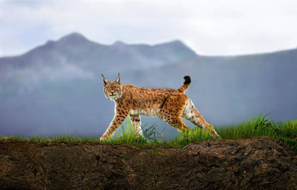 National Wall Art - Photograph - Walking Lynx by Xavier Ortega