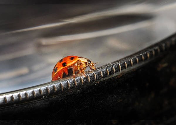 Ladybird Wall Art - Photograph - Walking On Edge by Susan Capuano