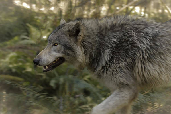 Photograph - Walking With A Wolf by Wes and Dotty Weber