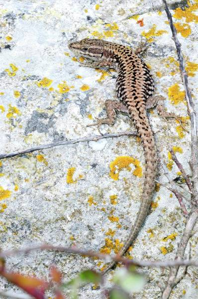 Lizard Photograph - Wall Lizard by Colin Varndell