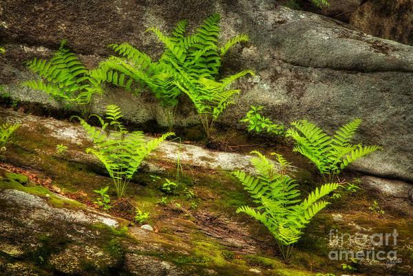 Photograph - Ferns by Alana Ranney