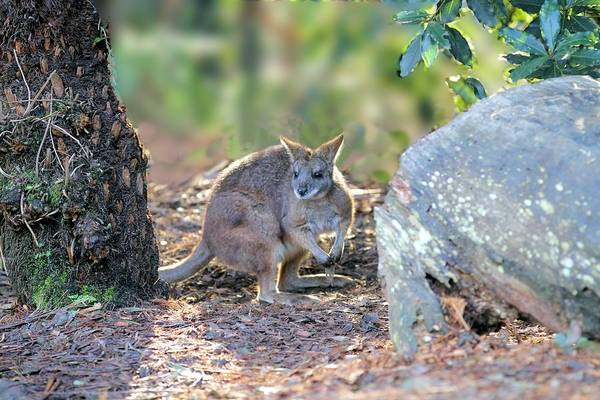 Photograph - Wallaby by David Rich