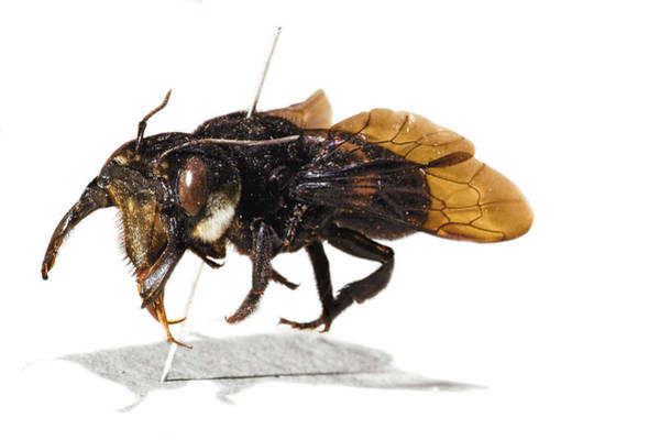 Stuffed Animal Photograph - Wallace's Giant Bee by Natural History Museum, London/science Photo Library
