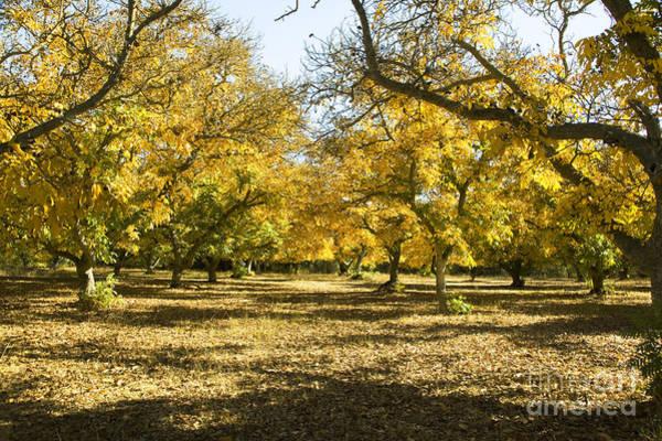 Photograph - Walnut Orchard by Charmian Vistaunet