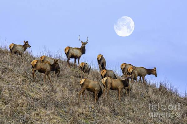 Elk Herd Photograph - Wanderers by Anthony Heflin