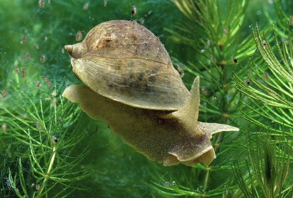 Wanderings Photograph - Wandering Pond Snail by George Bernard/science Photo Library