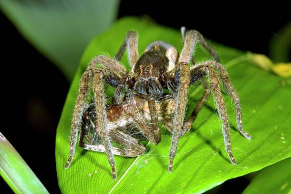 Wanderings Photograph - Wandering Spider Eating A Spider by Dr Morley Read/science Photo Library
