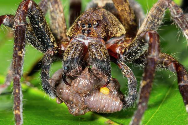 Wandering Spider Feeding Art Print by Dr Morley Read