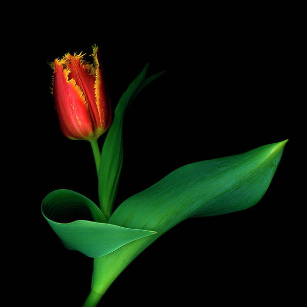 Tulip Flower Photograph - Wanna Dance? by Inigo Cia