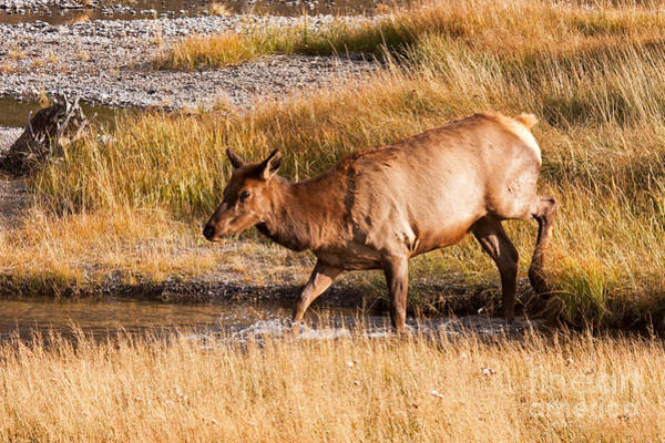 Photograph - Wapiti Elk Crossing The Madison River In Yellowstone National Park by Fred Stearns