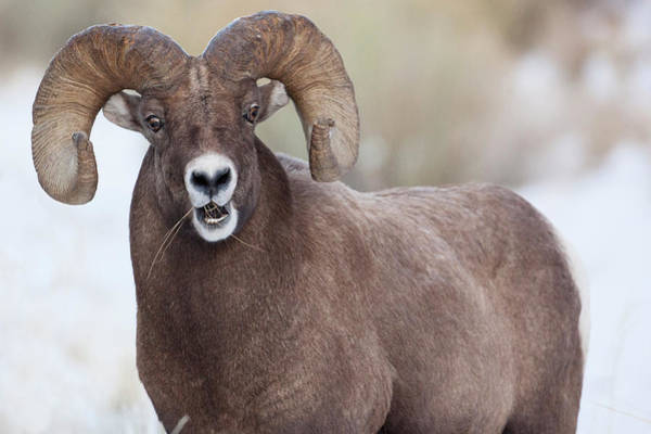 Wapiti Photograph - Wapiti, Wyoming Usa Bighorn Sheep by Janet Muir