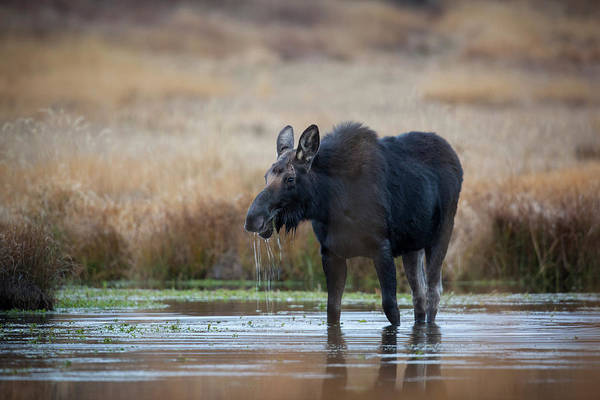 Alces Alces Photograph - Wapiti Wyoming Usa Female Moose Eating by Janet Muir