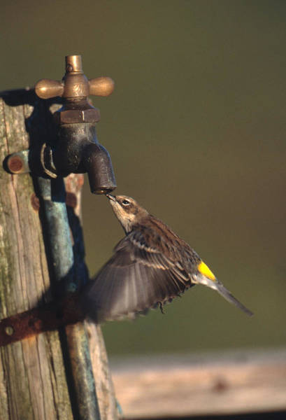 Yellow-rumped Warbler Photograph - Warbler Drinking by Paul J. Fusco