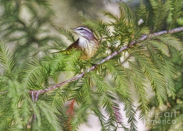 Photograph - Warbler In The Cypress by Deborah Benoit
