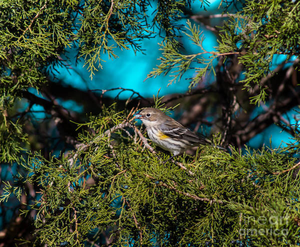 Juniper Berries Wall Art - Photograph - Warbler With Juniper Berry by Robert Frederick