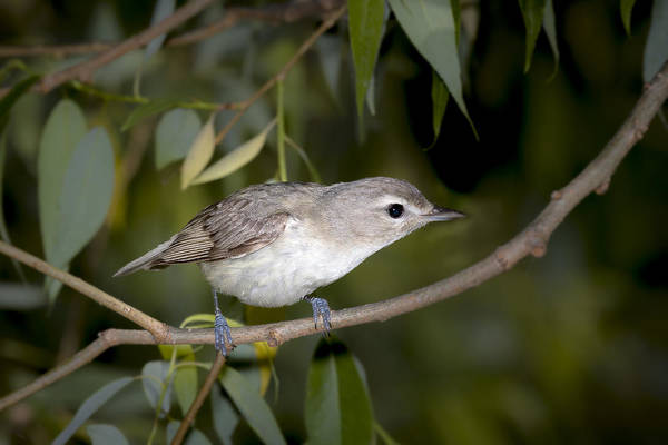 Photograph - Warbling Vireo by Jack R Perry