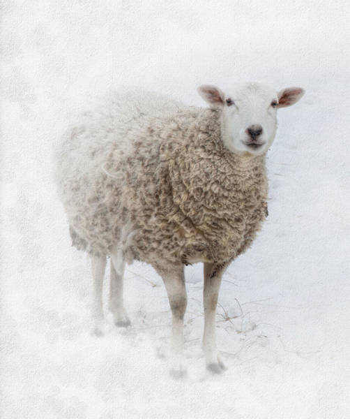 Sheep Photograph - Warm And Fuzzy by Robin-Lee Vieira
