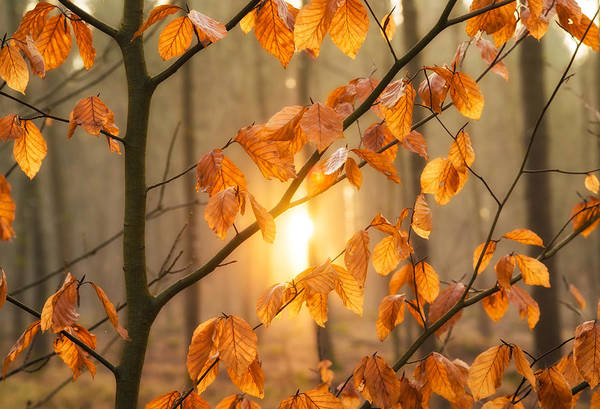 Photograph - Warm Orange Light And Brown Leaves In The Forest by Matthias Hauser