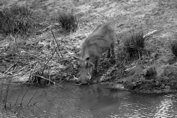 Wall Art - Photograph - Warthog At The Waterhole by Chris Whittle