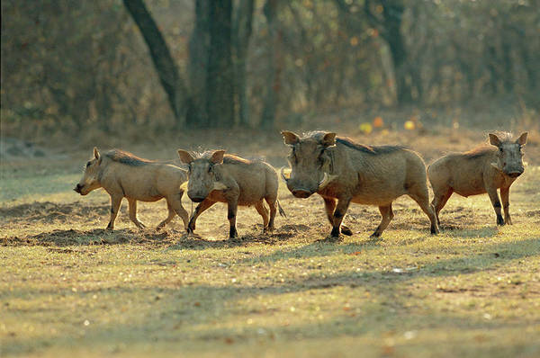 Wart Wall Art - Photograph - Warthog Family by Tony Camacho/science Photo Library