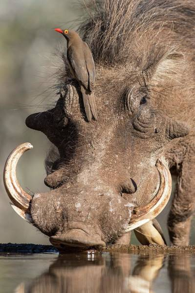 Behaviour Photograph - Warthog With Ox-pecker At A Watering Hole by Tony Camacho