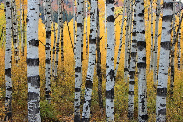 Wall Art - Photograph - Wasatch Aspens by Johnny Adolphson