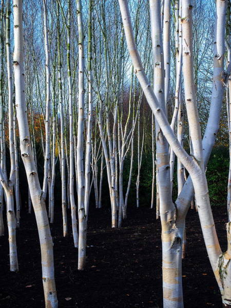 Photograph - Washed Silver Birch by Stephen Barrie
