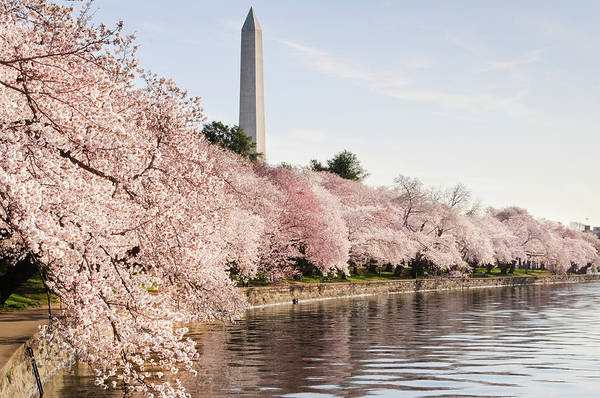 Tidal Photograph - Washington Dc Cherry Blossoms And by Ogphoto