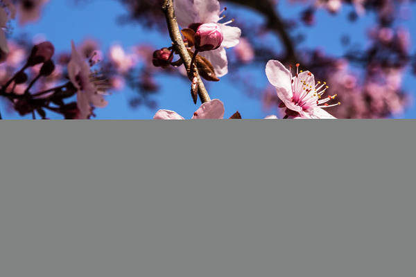 Anther Wall Art - Photograph - Washington, Dc Pink Cherry Blossoms by Jolly Sienda