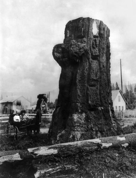 Photograph - Washington Fir Stump by Granger