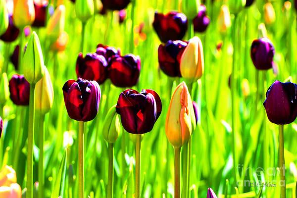 Photograph - Washington Tulips - Mount Vernon by Tap On Photo