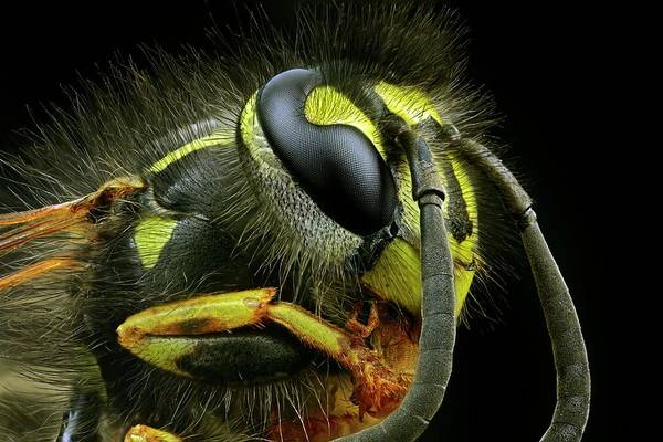 Compound Eyes Photograph - Wasp Head by Frank Fox
