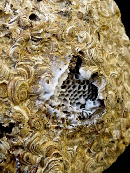 Biological Pest Control Photograph - Wasp Nest Sprayed With Pesticide by Ian Gowland