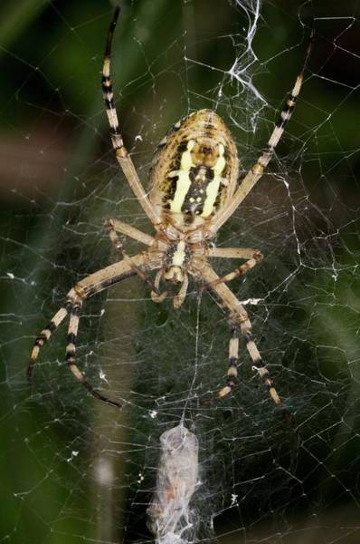 Orb Weaver Photograph - Wasp Spider And Prey by Bob Gibbons
