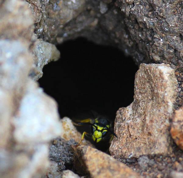 European Hornet Photograph - Wasp by Stanislav Tcolov