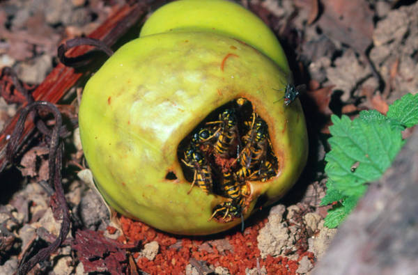 Wasp Photograph - Wasps Feeding On A Fallen Apple by Sinclair Stammers/science Photo Library