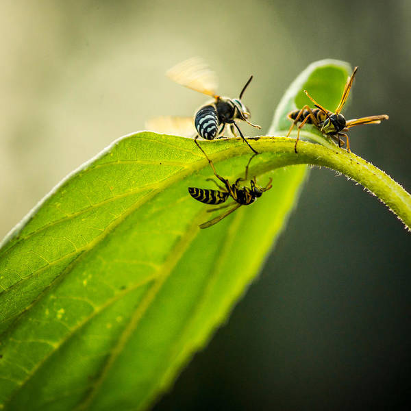 Photograph - Wasps On A Sunflower Leaf by Chris Bordeleau