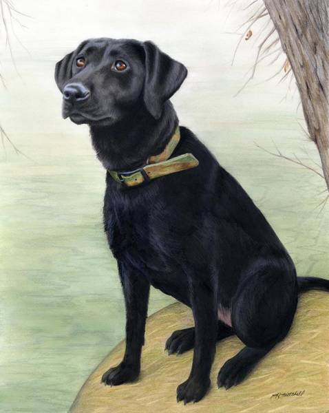 Duck Hunting Drawing - Watchful Black Lab by Heather Mitchell