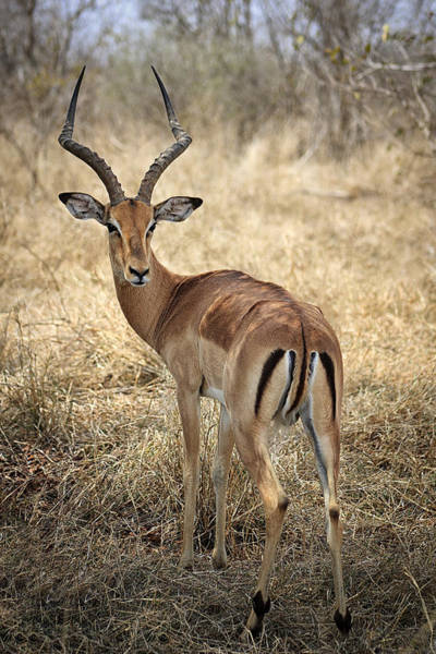 Photograph - Watchful Impala by Kim Andelkovic