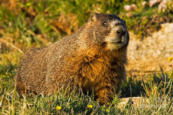 Photograph - Watchful Yellow Bellied Marmot In Rocky Mountain National Park by Fred Stearns