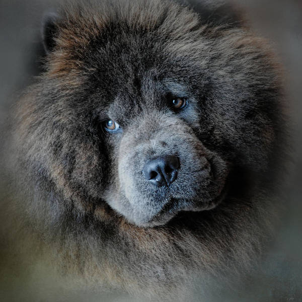 Photograph - Watching Master - Blue Chow Chow by Jai Johnson