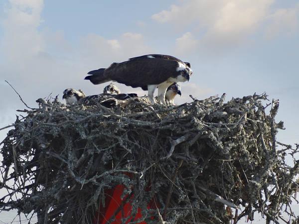 Ospreys Photograph - Watching The Kids - Ospreys by Mike McGlothlen