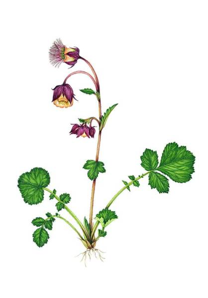 Wall Art - Photograph - Water Avens (geum Rivale) In Flower by Lizzie Harper/science Photo Library