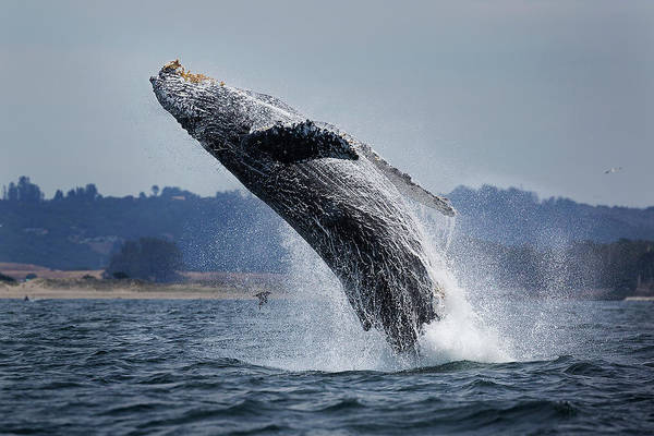 Monterey Bay Photograph - Water Ballet by Chase Dekker Wild-life Images