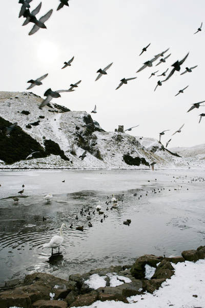 Holyrood Photograph - Water Birds In Winter by Gustoimages/science Photo Library