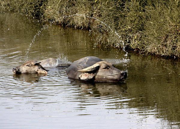 Photograph - Water Buffalo 1 by Karen Saunders