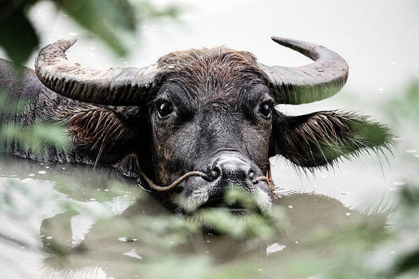 Photograph - Water Buffalo 2 by Karen Saunders