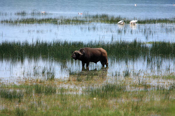 Photograph - Water Buffalo At Lake Nakuru by Aidan Moran