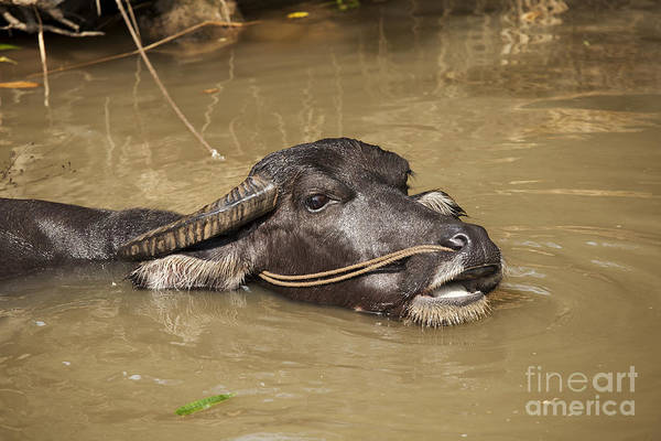 Wall Art - Photograph - Water Buffalo by David Davis